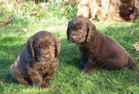 sussex spaniel puppies sussex spaniel puppies dogs puppies