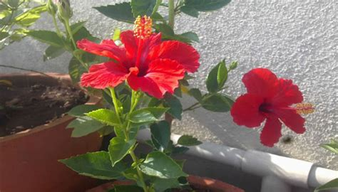 sukses  mudah menanam  merawat bunga sepatu