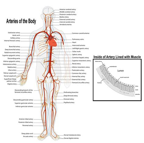 artery diagram arteries and veins of the s