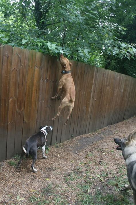 How To Keep Dog From Jumping Fence by Dog Proof Fence Dog Breeds Picture