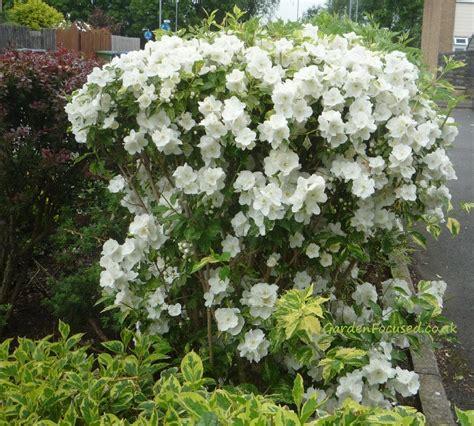 Flowering Garden Shrubs Expert Advice On The Mock Orange Philadelphus Shrub