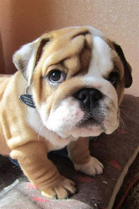 baby bull wittle baby bulldog just for