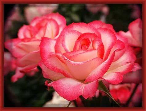 imágenes de amistad muy lindas fotos de rosas muy bonitas archivos imagenes de rosa