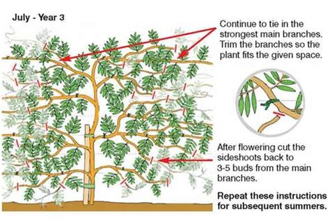 caring for and pruning wisteria gardening planters more pinter