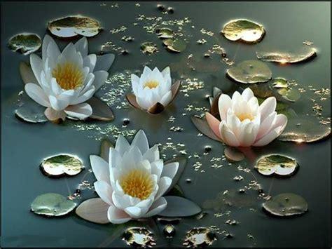 fiori ninfee condividi la foto ninfee dall album fiori di ashera1 su