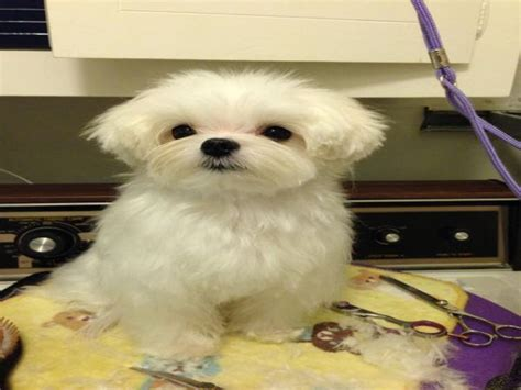what is the best cut for a malti poo hairstyles for maltese puppy hairstyles