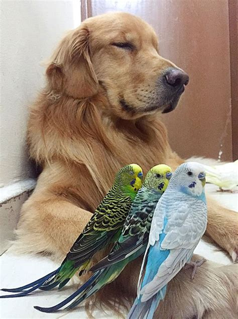 golden retriever friendly a 8 birds and a hamster are the most best friends bored panda