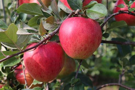 Apfelernte Im Garten Wann Ist Der Apfel Reif Bl 252 Tenrausch