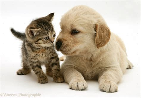 saving puppies kitten and golden retriever puppy image save as click kittens puppies pictures litle