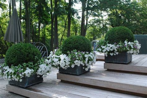 Boxwoods In Planters by Boxwood With Petunias Pots Urns Planters
