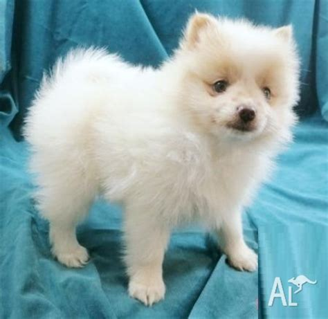 white pomeranian puppies for sale australia pomeranian puppies for sale for sale in perth western australia classified