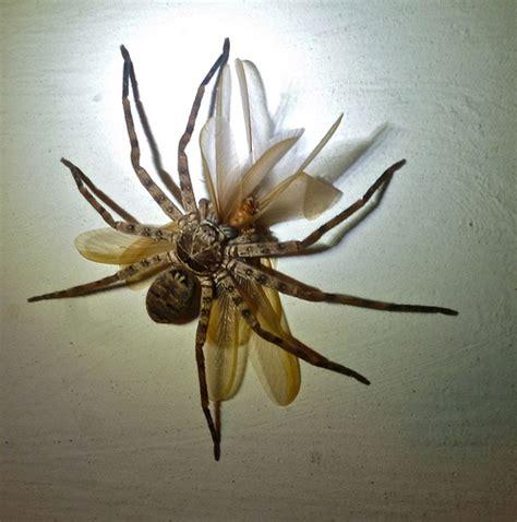 Garden Huntsman Spider Huntsman Spider Flickr Photo
