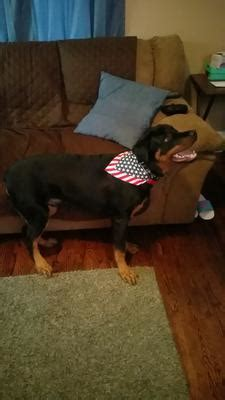 rottweiler rescue evansville indiana stubborn 7 month a of rottweilers