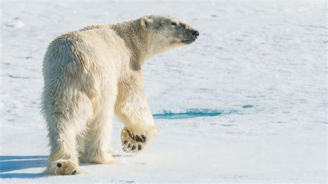 the polar bear explorers 0571332544 svalbard polar bear explorer natural world safaris