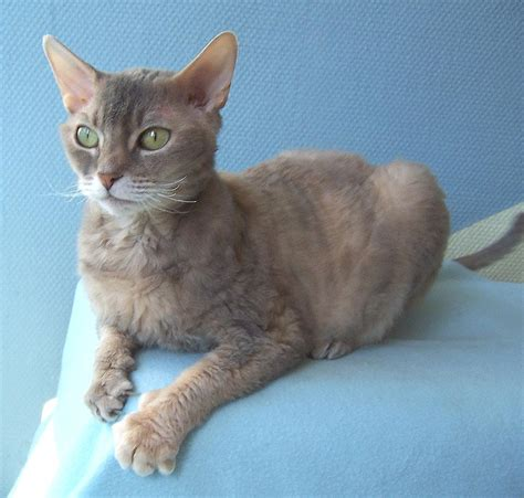 German Rex Cat Info, Temperament, Care, Pictures