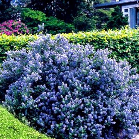 Produk Pot Tawon Putih Uk 12 3 x ceanothus yankee point california lilac evergreen