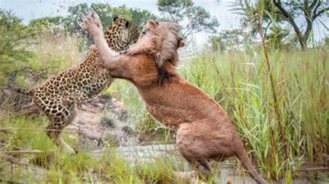 film ular vs singa pertarungan sengit singa vs macan tutul perkelahian