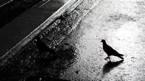 two birds crossing a rainy street pentaxforums com