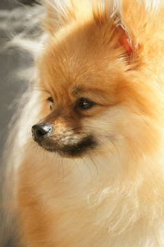 pomeranian coughing and pomeranians before after and foxes on