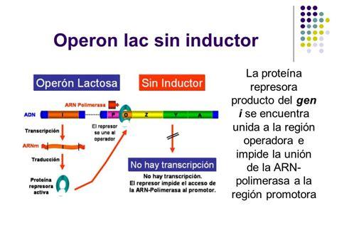 inductor biologia definicion inductor biologia molecular 28 images inductor y represor 28 images regulaci 243 n g 233