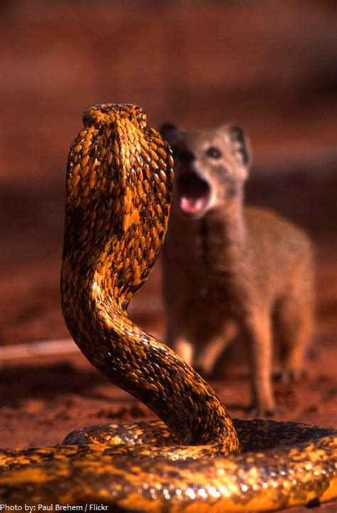 mongoose vs cobra snake interesting facts about cobras just fun facts