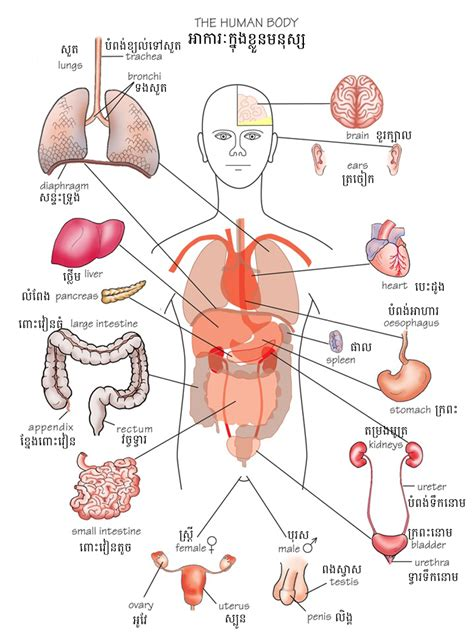 human body sections human internal body parts english human body organ anatomy