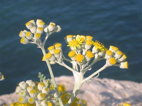 fiore elicriso helichrysum italicum centrovivai garden center