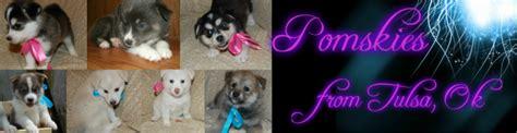 how big do pomsky puppies get pomsky puppy for sale pomsky puppies for sale