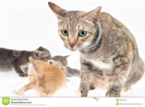 wallpaper of cat family cat family stock photo image of together breed mommy