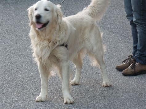 golden retriever websites golden retriever lui 232 techila un bellissimo e grandissimo maschio bianco ad