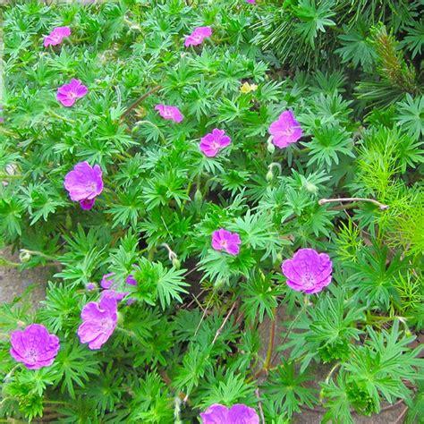 mid atlantic gardening perennial geraniums as groundcovers