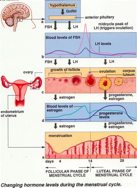 menstrual cycle after c section r e d nurse facts on menstrual cycle
