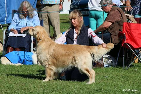 golden retriever birmingham lovissa golden retrievers west midlands united kingdom