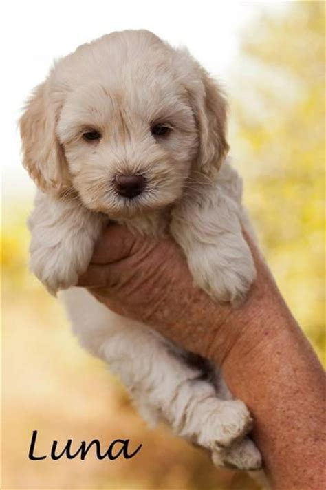 labradoodle puppies the world s catalog of ideas