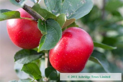 facts about apple trees