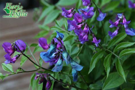 pianta con fiori viola a grappolo pianta fiori viola gpsreviewspot