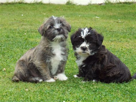 shih tzu schnauzer beautiful mini schnauzer x shih tzu pups for sale llanelli carmarthenshire pets4homes