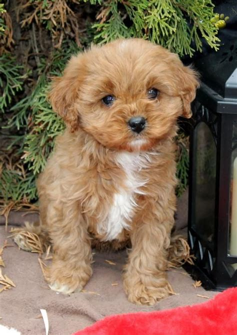 puppies for sale lancaster pa 17 best ideas about cavapoo puppies for sale on cavapoo puppies cavapoo