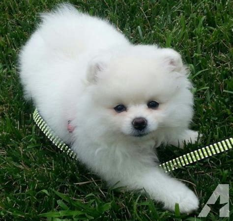 pomeranians for sale in maryland pomeranians white for sale in boyds maryland classified americanlisted