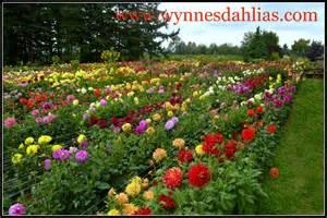 s dahlia garden dahlia
