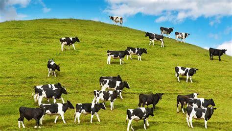 imagenes con movimiento vacas 35 vacas im 225 genes fotos y gifs para compartir im 225 genes cool