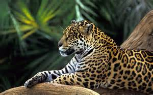 Jaguar Cat Jaguar Animals Cats