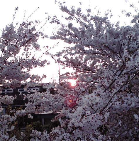 when did japan give us cherry blossoms 100 when did japan give us cherry blossoms cherry