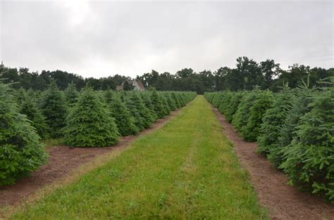 christmas tree farm photography ct doag your own tree by county