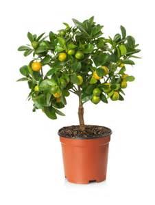 quel arbre fruitier en pot pour terrasse