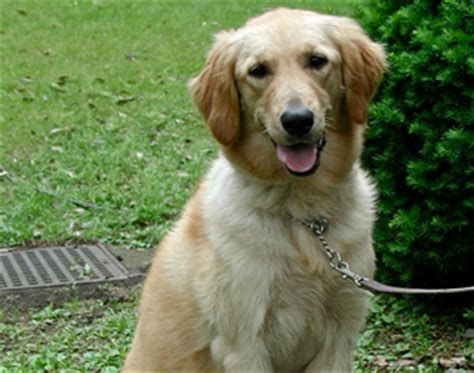 golden retriever dysplasia golden retriever study suggests neutering affects health