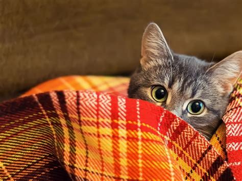 cat under wallpaper wallpaper cat under a blanket photos and free walls