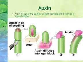 Hormon Auxin plant growth regulators aka plant hormones ppt