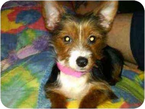 yorkie fox terrier mix pookie pending adopted puppy 1129 benton oh fox terrier yorkie
