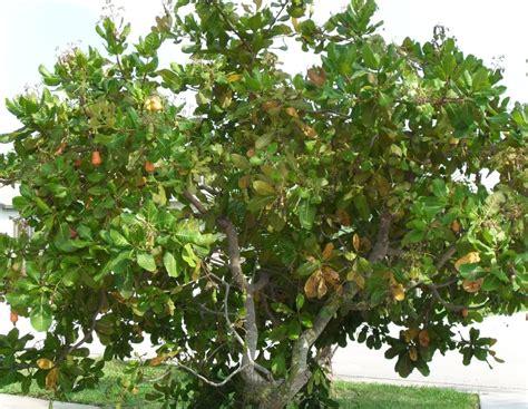 Pohon Kacang mete tree gambar fakta foto on pohon jambu mete